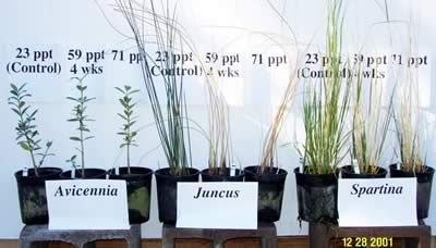 Three plants each of Avicennia, Juncus, and Spartina with salinity levels labeled 23ppt, 59ppt, and 71ppt for the three plants in of each kind.