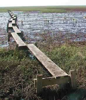 A thin boardwalk over an afflicted marsh